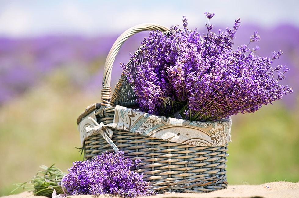 Lavendel i kruka utomhus